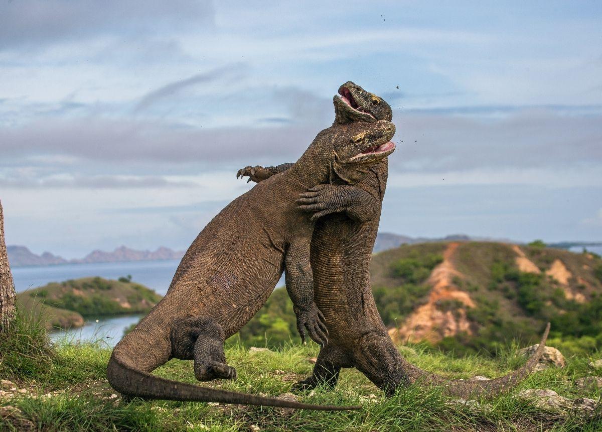 Berita terbaru hari ini: Komodo Karnivora dan kanibal