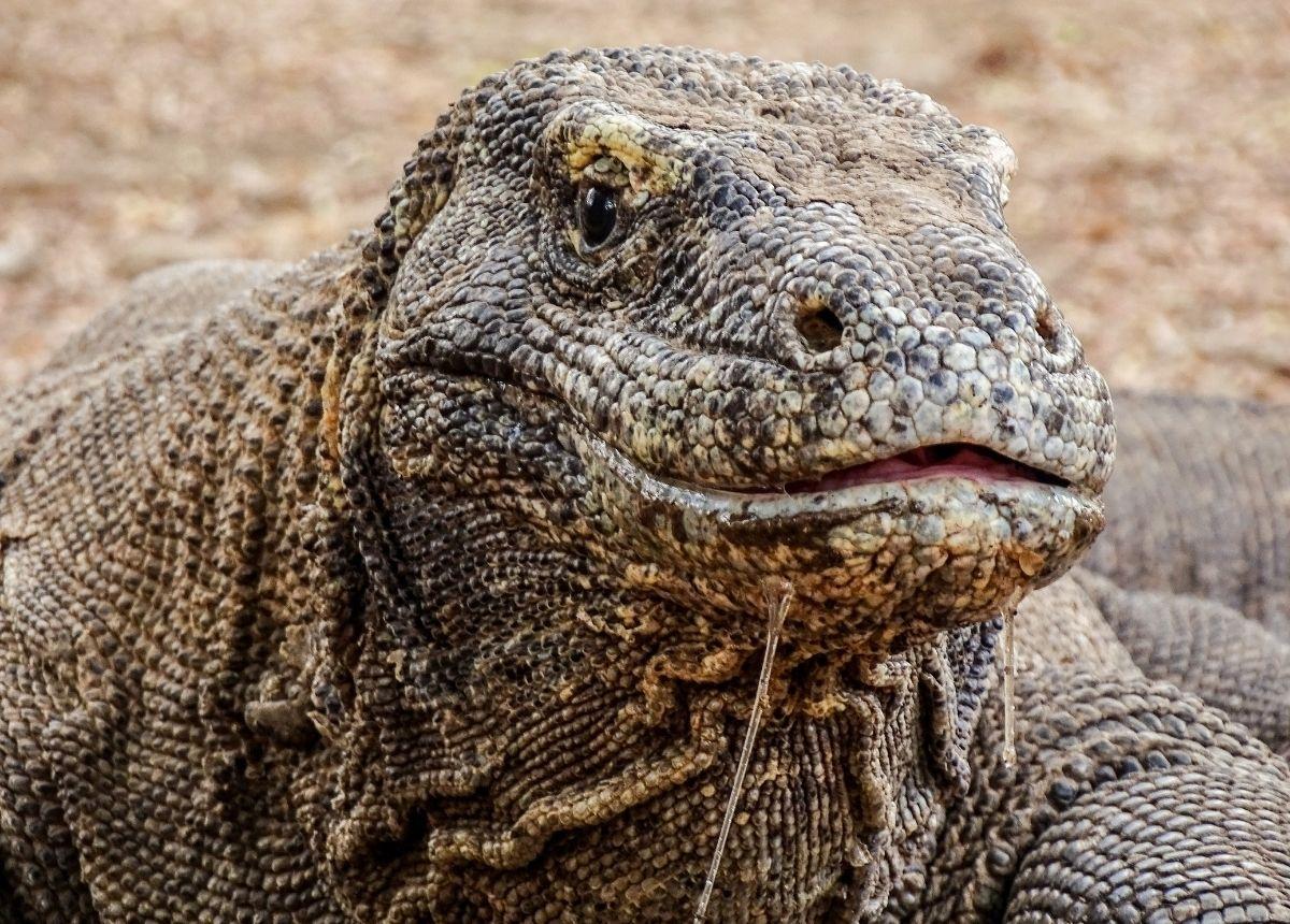 Berita terbaru hari ini: Komodo Punya liur yang berbisa